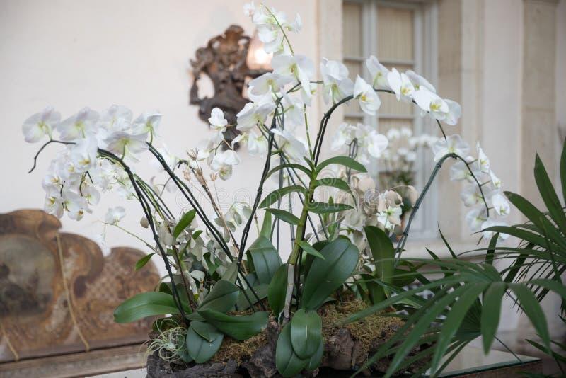 Jardin d'agrément joyeux de floraison régénéré de fleurs d'orchidée de Phalaenopsis au printemps coloré image libre de droits