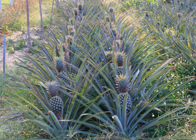 Jardin d'ananas photo libre de droits