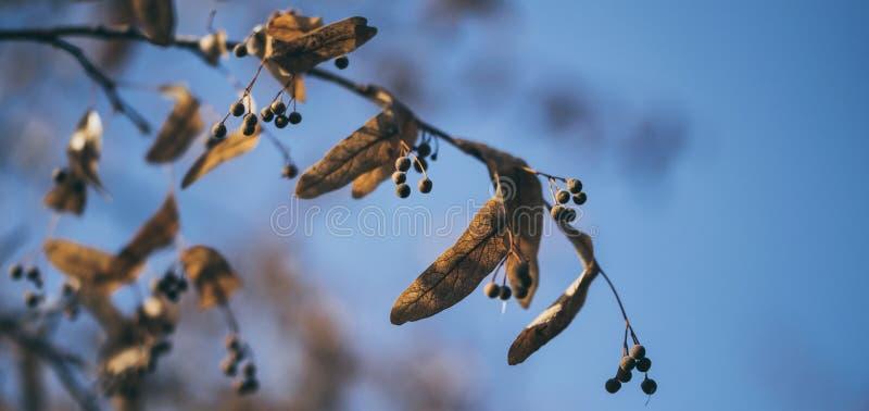 Jardin d'automne Branche de tilleul avec les feuilles jaunies image libre de droits