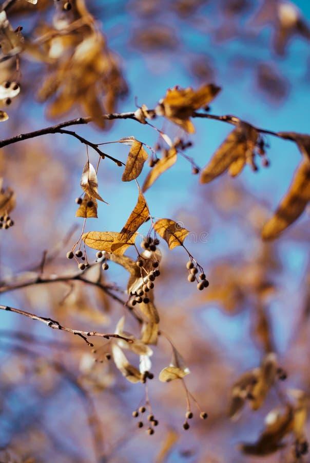Jardin d'automne Branche de tilleul avec les feuilles jaunies photos stock