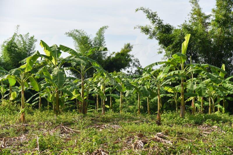 Jardin de banane image libre de droits