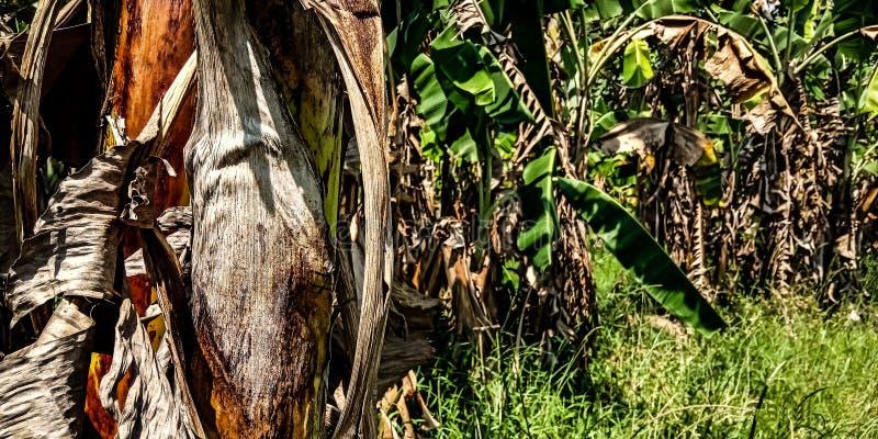 Jardin de banane images libres de droits