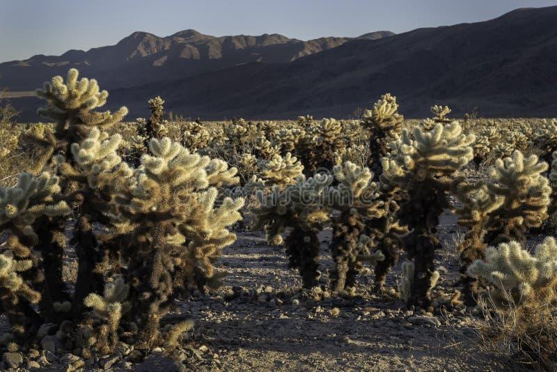 Jardin de cactus de Cholla et montagnes éloignées photographie stock libre de droits