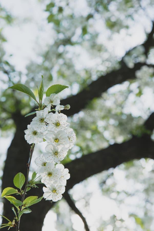 Jardin de cerise Fond de fleur de ressort - frontière florale abstraite des feuilles de vert et des fleurs blanches photo libre de droits