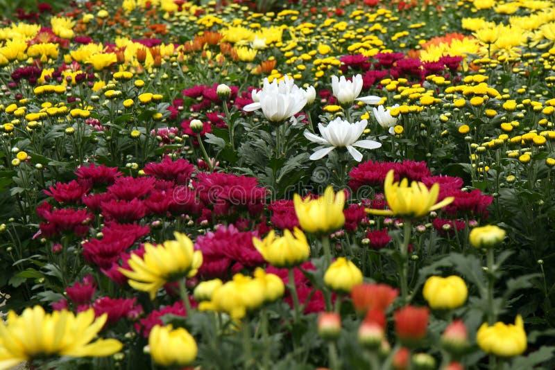 Jardin de chrysanthemum image libre de droits