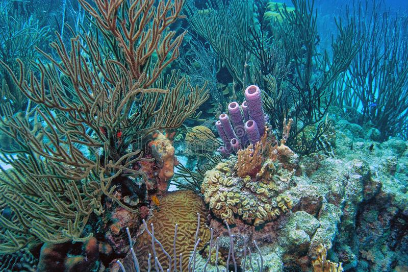 Jardin de corail des Caraïbes photo libre de droits