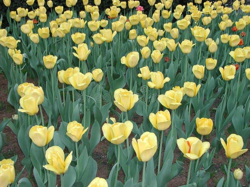 Jardin de fleur jaune photos libres de droits