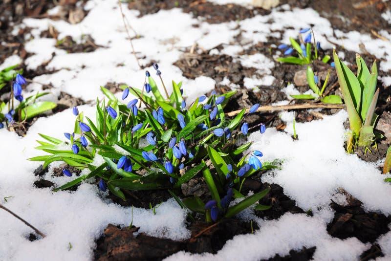 Jardin de fleurs de jacinthe des bois au printemps avec la lumière du soleil et la neige de fonte image libre de droits