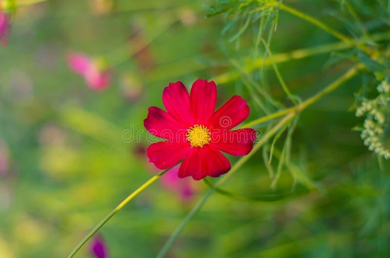 Jardin de fleurs rouge de cosmos Fleurs de cosmos fleurissant dans le jardin photographie stock libre de droits