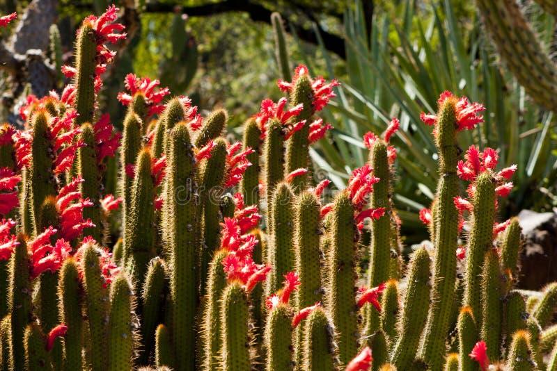 Jardin de floraison de cactus images libres de droits