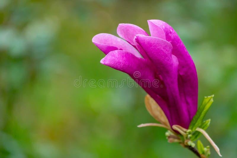 Jardin de floraison de stellata de magnolia du liliiflora X de Susan Magnolia de magnolia de belle grande fleur rose au printemps photographie stock libre de droits