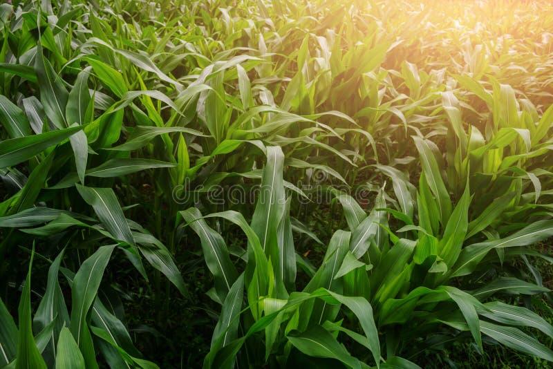 Jardin de maïs vert images libres de droits