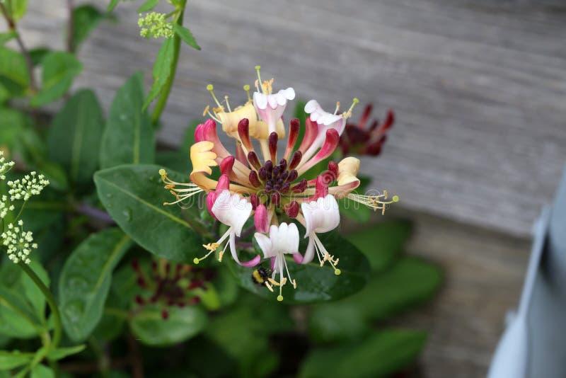 Jardin de macropetala de clématite au printemps Fleurs de cl?matite dans le jardin images stock