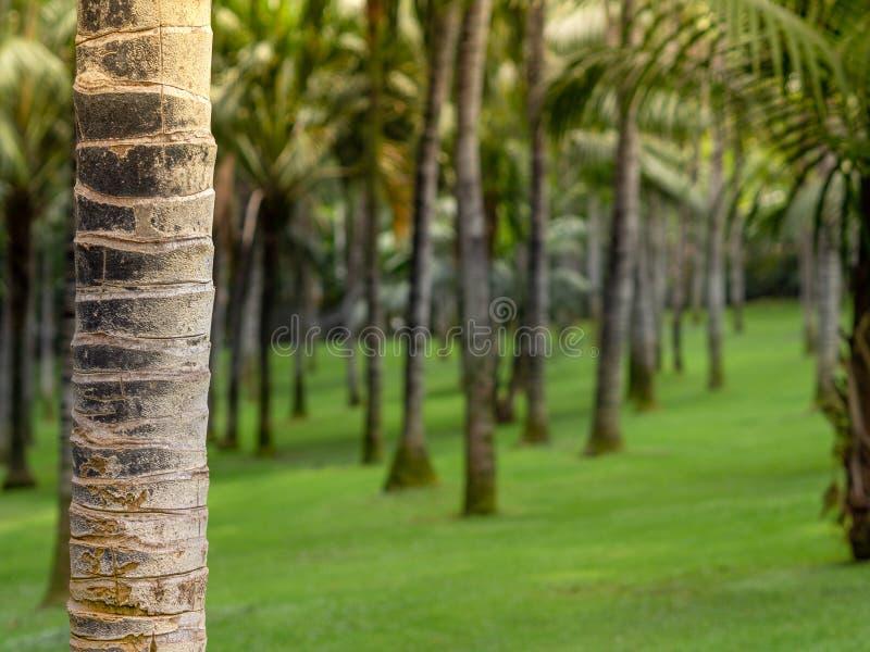 Jardin de noix de coco dans Ténérife, Espagne Forêt de palmier au matin avec la lumière du soleil Effet de Bokeh avec le fond bro images libres de droits