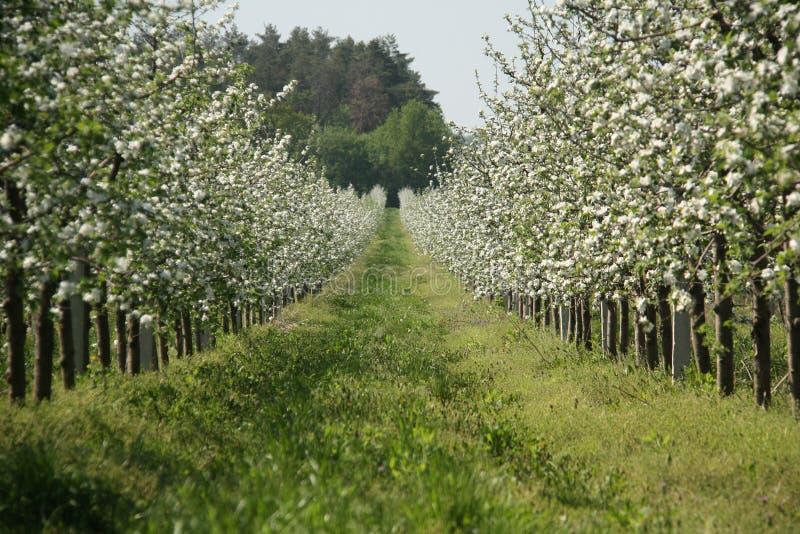 Jardin de pomme-arbres de fleur à la source Jour ensoleillé images libres de droits