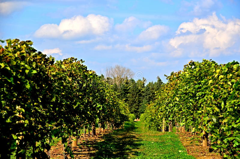 jardin de raisin image libre de droits