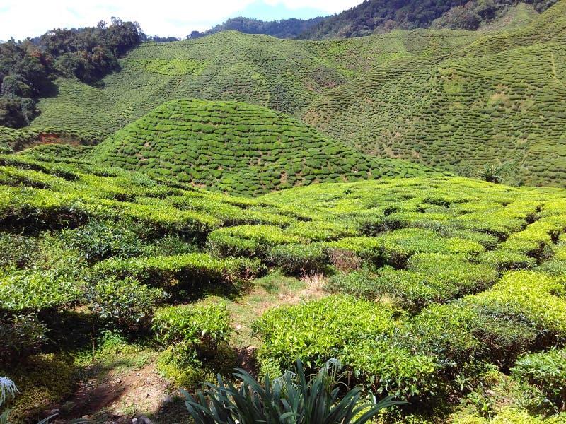 Jardin de thé au hHighland de Cameron photos stock