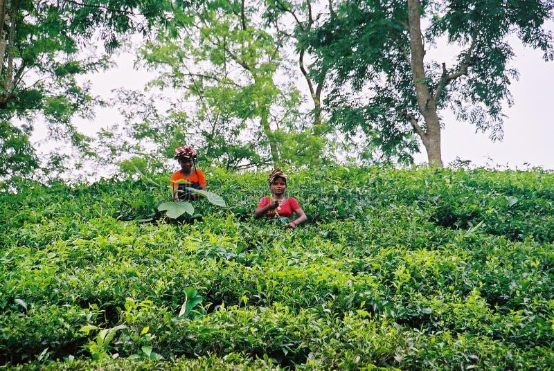 Jardin de thé chez Sylhet, Bangladesh photographie stock libre de droits