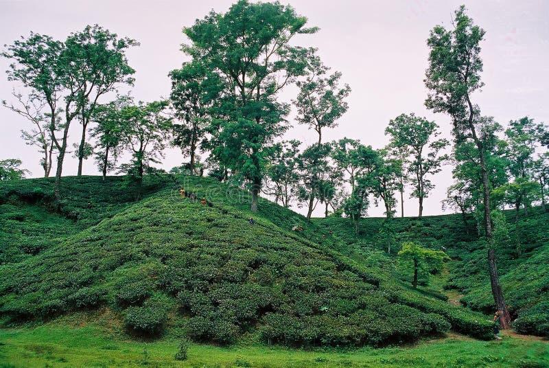 Jardin de thé chez Sylhet, Bangladesh images stock