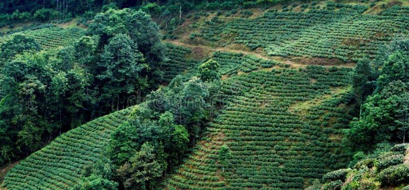 Jardin de thé Darjeeling image libre de droits