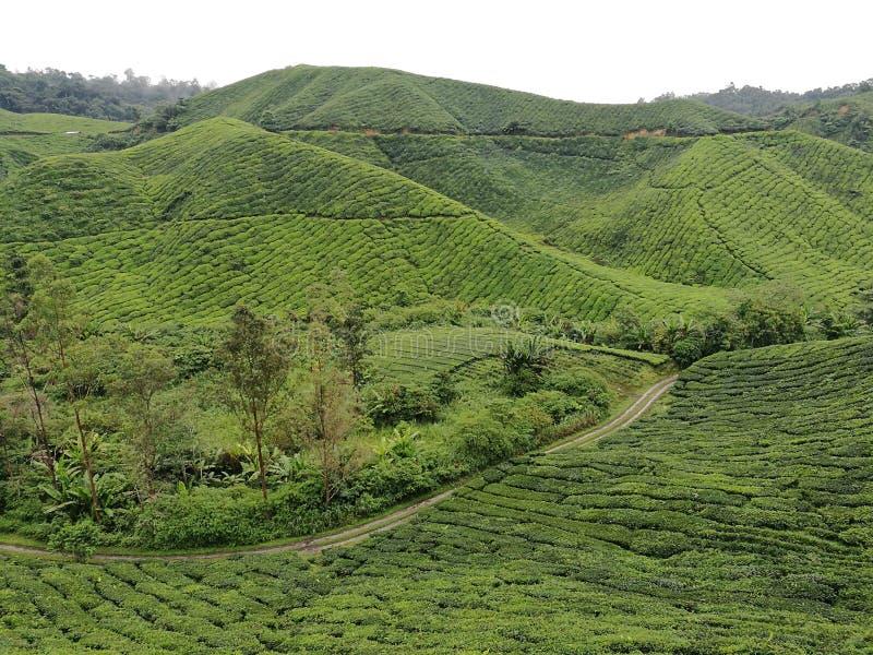 Jardin de thé et montagne de thé chez Cameron Highland dans Ipoh, Malaisie image libre de droits