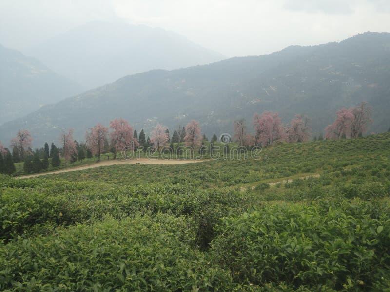 Jardin de thé organique images stock