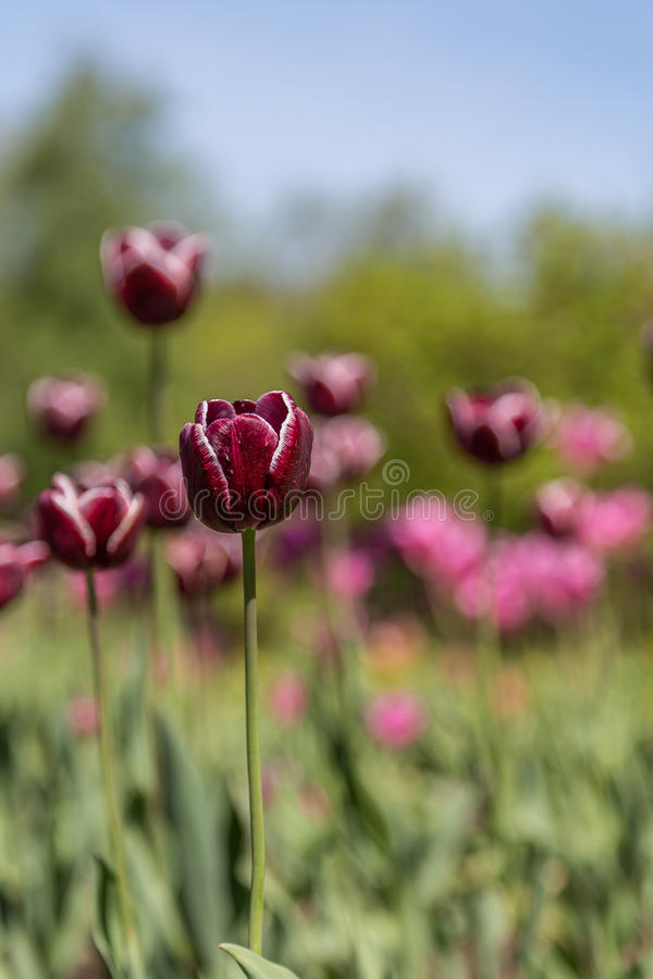 Jardin de Tulip Flowers In Tallinn Botanic photos libres de droits