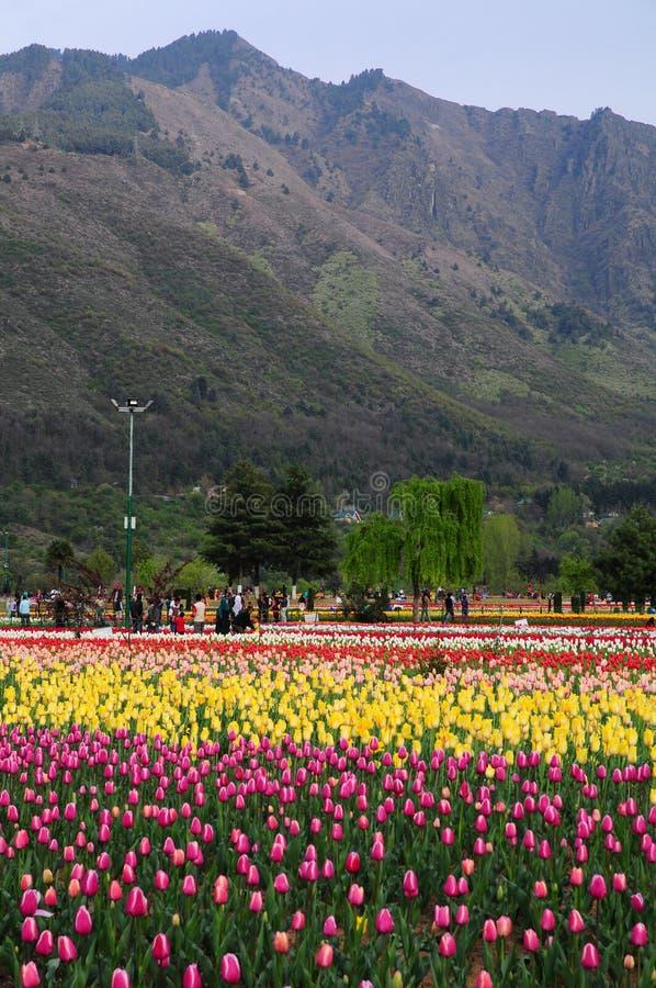 Jardin de tulipe à Srinagar, Cachemire, Inde photo stock