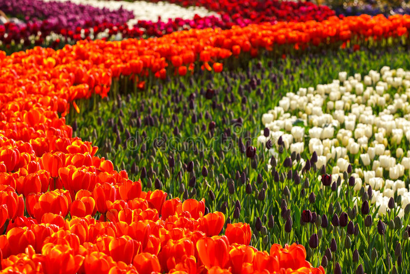 Jardin de tulipes photographie stock