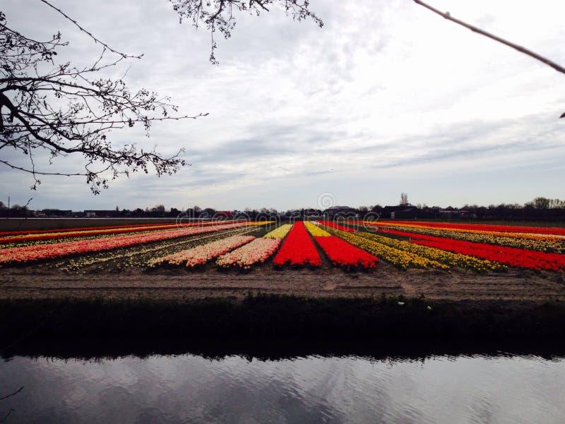 Jardin de tulipes image stock