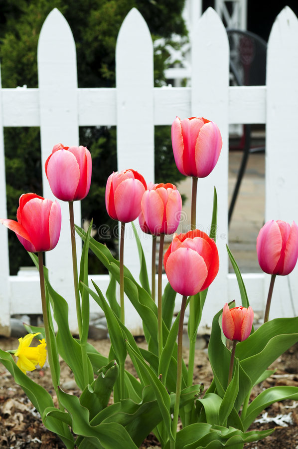 Jardin de tulipes au printemps images stock