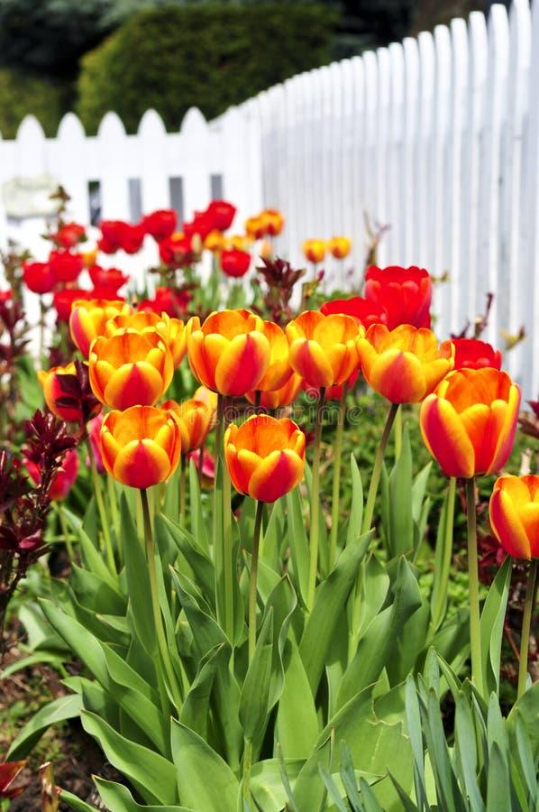 Jardin de tulipes au printemps photo stock