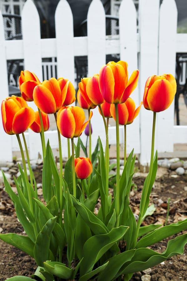 Jardin de tulipes au printemps images libres de droits