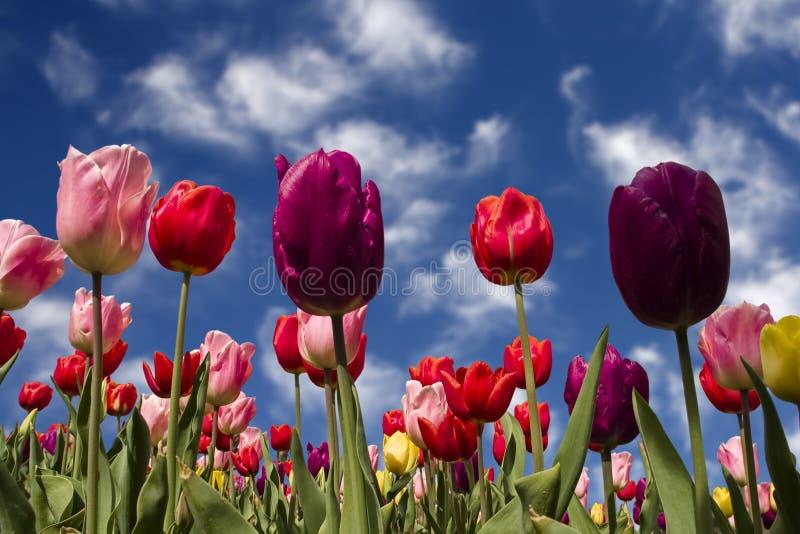 Jardin de tulipes au printemps photo libre de droits