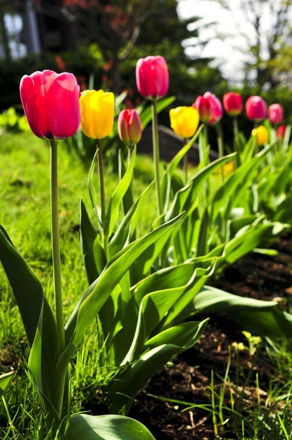 Jardin de tulipes au printemps photographie stock libre de droits