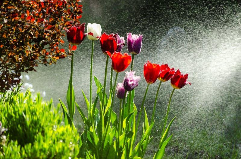 Jardin des tulipes avec le jet d'eau rétro-éclairé image stock
