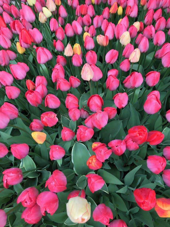Jardin des tulipes lumineuses avec la couleur photo stock