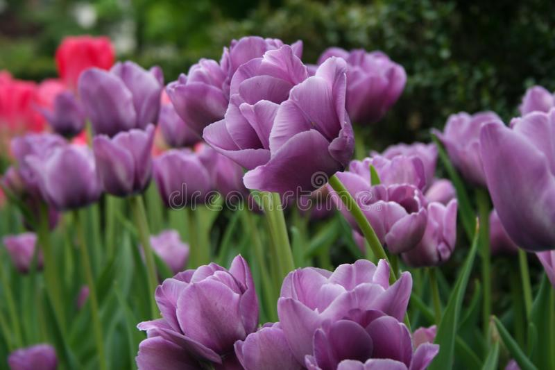 Jardin des tulipes pourpres image stock