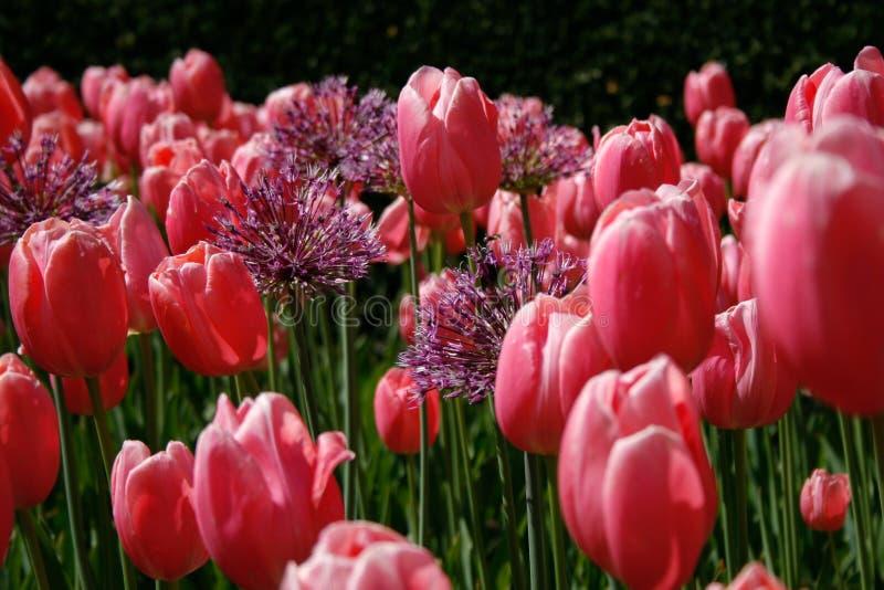 Jardin des tulipes roses avec le soleil images libres de droits