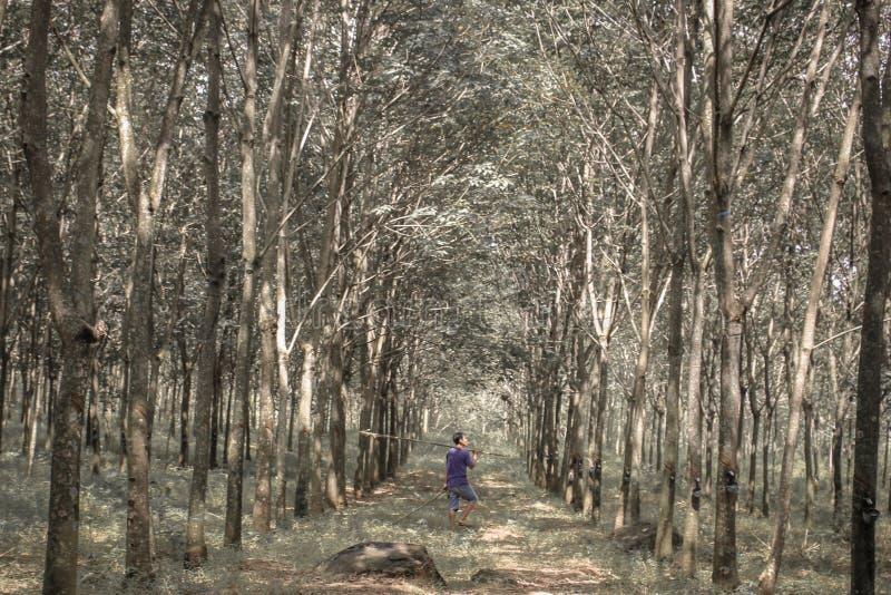 Jardin en caoutchouc Indonésie images stock