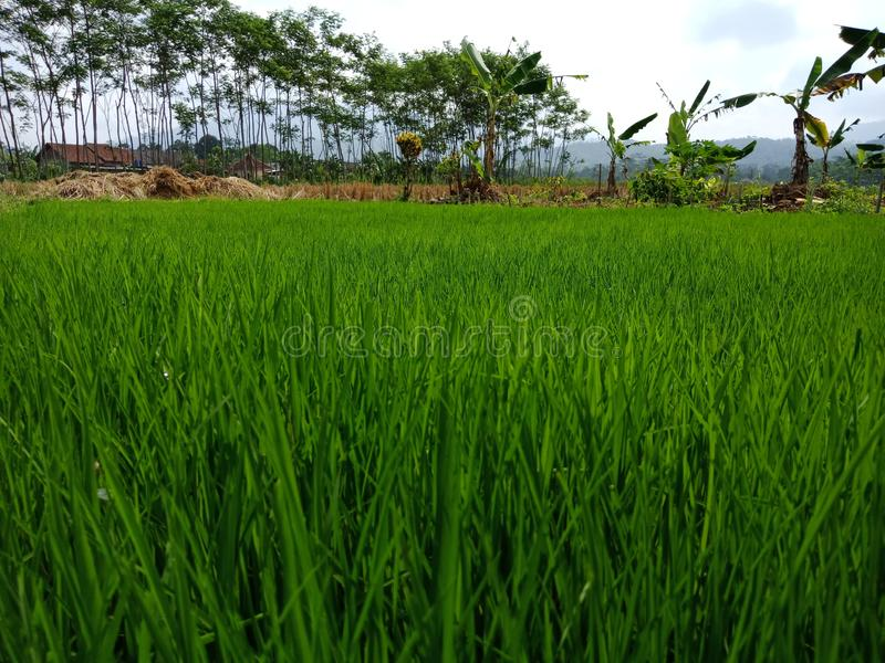 Jardin extérieur de baground de nature d'arbre vert de riz images stock
