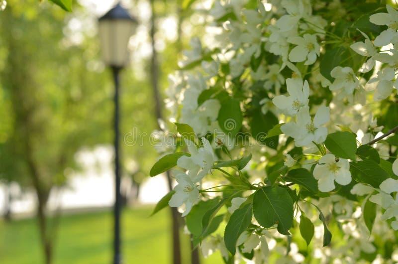 Jardin fleurissant de ressort Fond floral de ressort, foyer mou Branches d'arbre de floraison au printemps dehors macro images stock