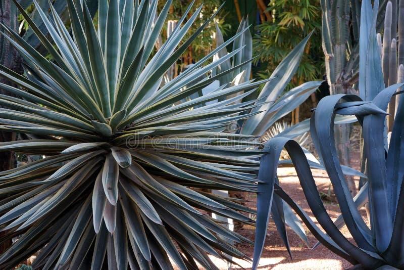 Jardin Marrakech de cactus de Jardin Majorelle image libre de droits