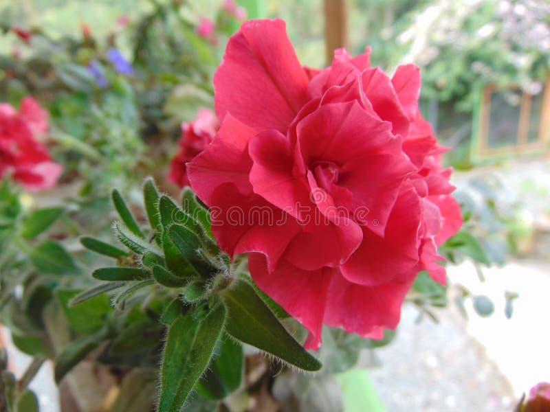Jardin naturel de fleur rose images libres de droits