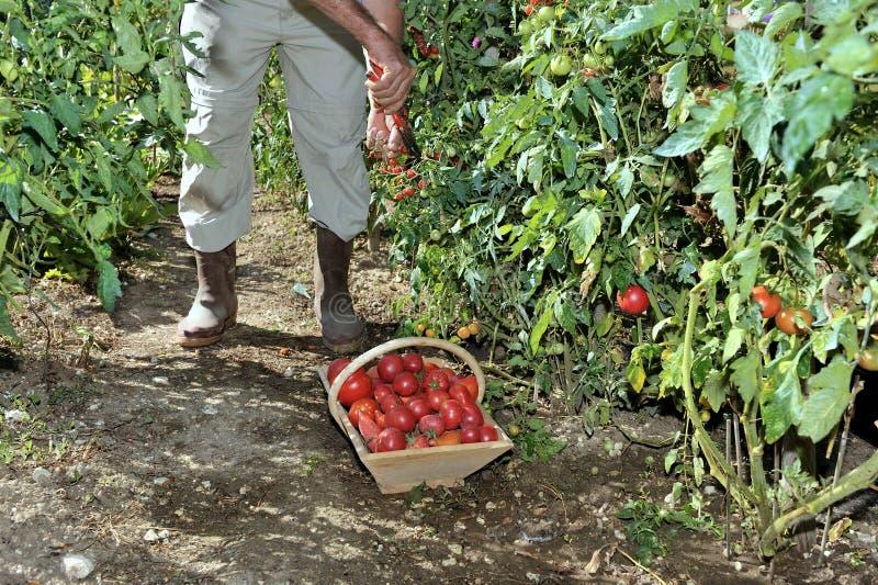 Jardin quatre de tomates image libre de droits