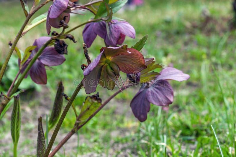 Jardin rose de fleurs de Hellebore au printemps photographie stock libre de droits