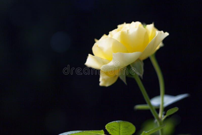 Jardin Rose de Yelow photo stock
