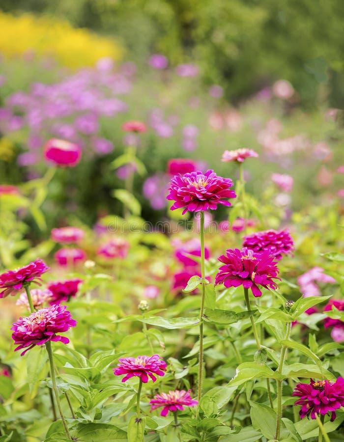 Jardin rose de Zinnia photographie stock libre de droits