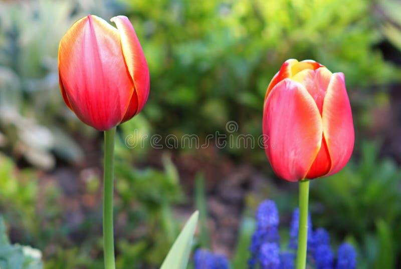 Jardin rouge de tulipes au printemps photos stock