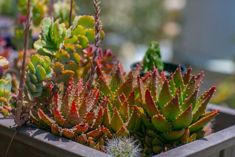 Jardin sage de désert de l'eau succulente photos libres de droits